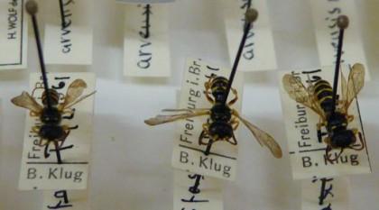 """Drei von 3.300 Insekten der """"Pater-Osmund-Sammlung"""""""