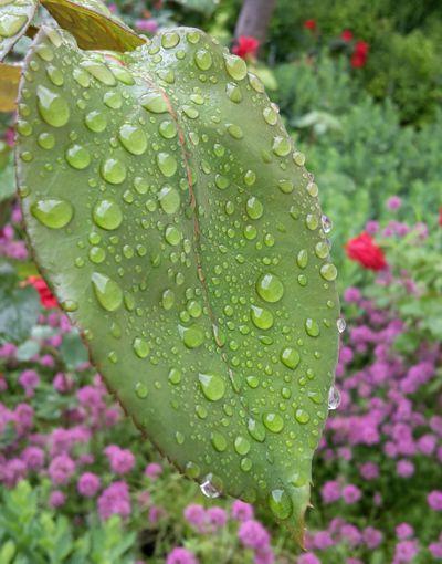 Der sich auf die Pflanzen senkende Morgentau ist ein Bild der Bibel für die Gnade Gottes. Meine Lehre ströme wie Regen, / wie Tau sollen meine Worte fallen, / wie Regentropfen auf das Gras, / wie ein Guss auf welkes Kraut. (5.Mo 32:2)